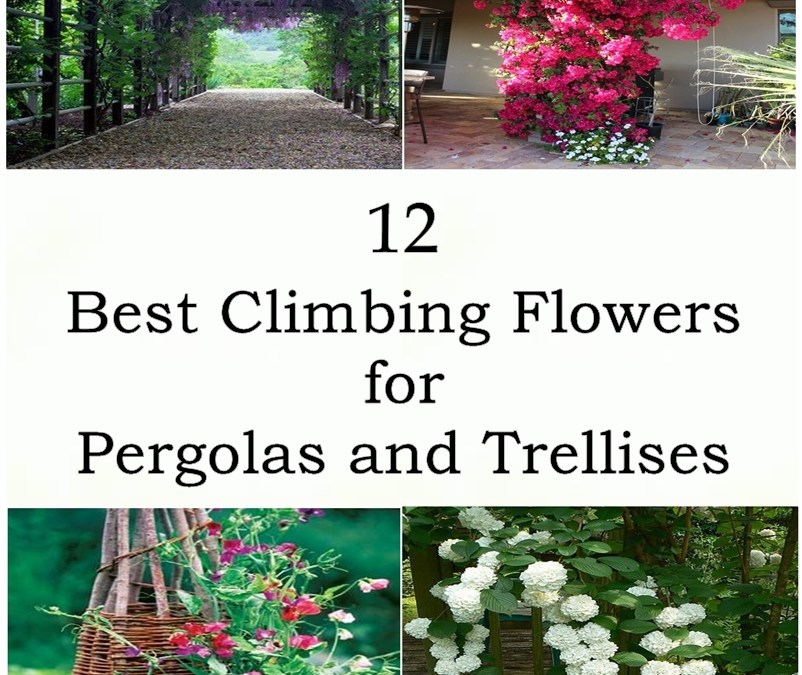 12 Best Climbing Flowers for Pergolas and Trellises