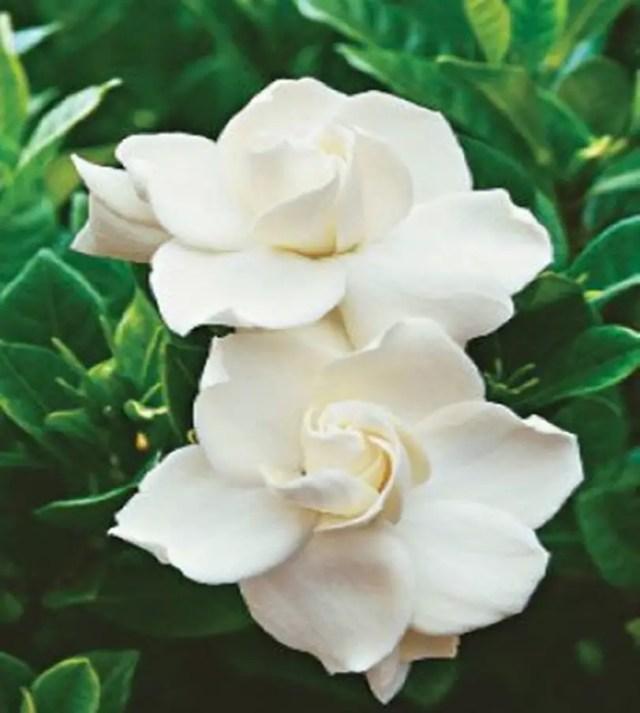 10 best fragrant flowers to scent your spring garden matchness fragrant flower 1 mightylinksfo