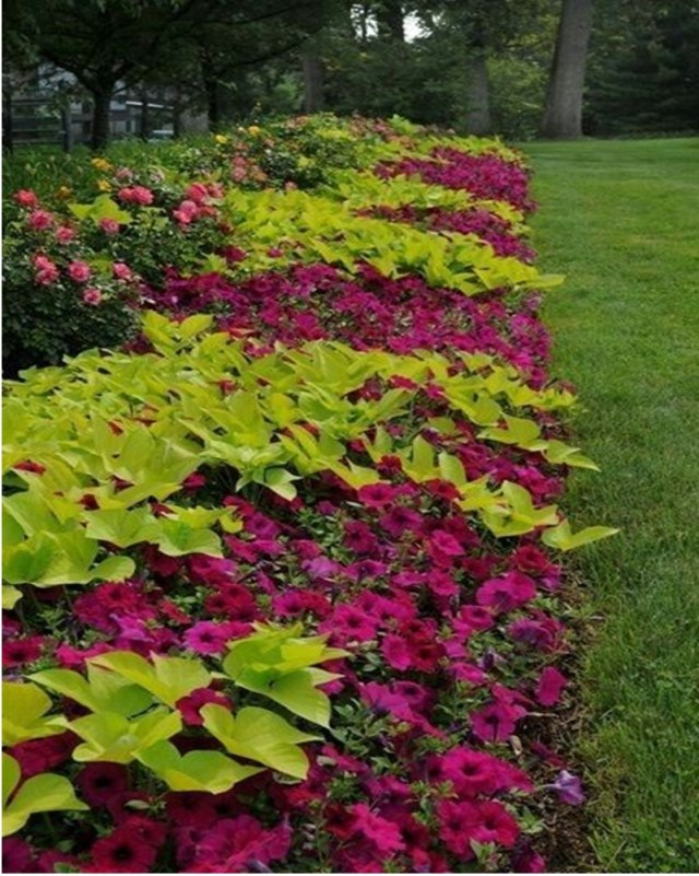 Petunia garden 4