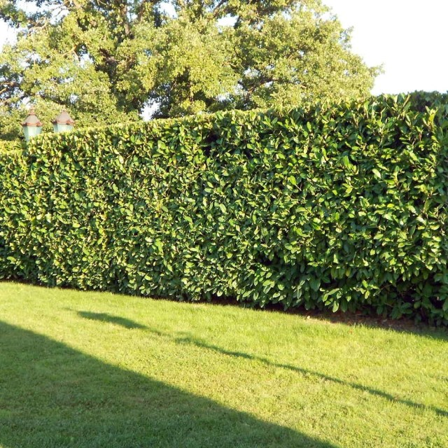 Laurel leaves living fence