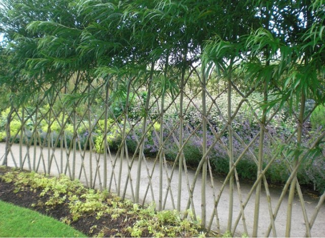 Willow trees living fence