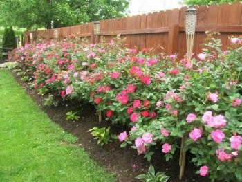 Amazing rose garden ideas in this year 11