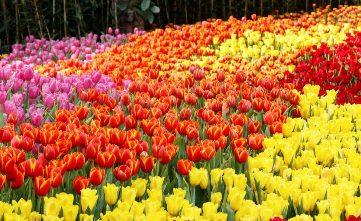 Beautiful tulip garden which is suitable for you to plant in the summer
