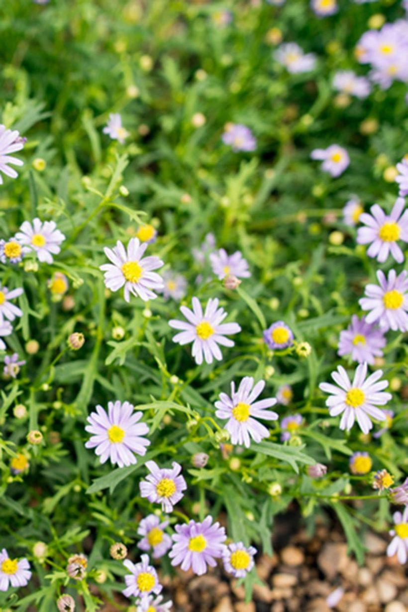 Aster-plants-and-flowers.-