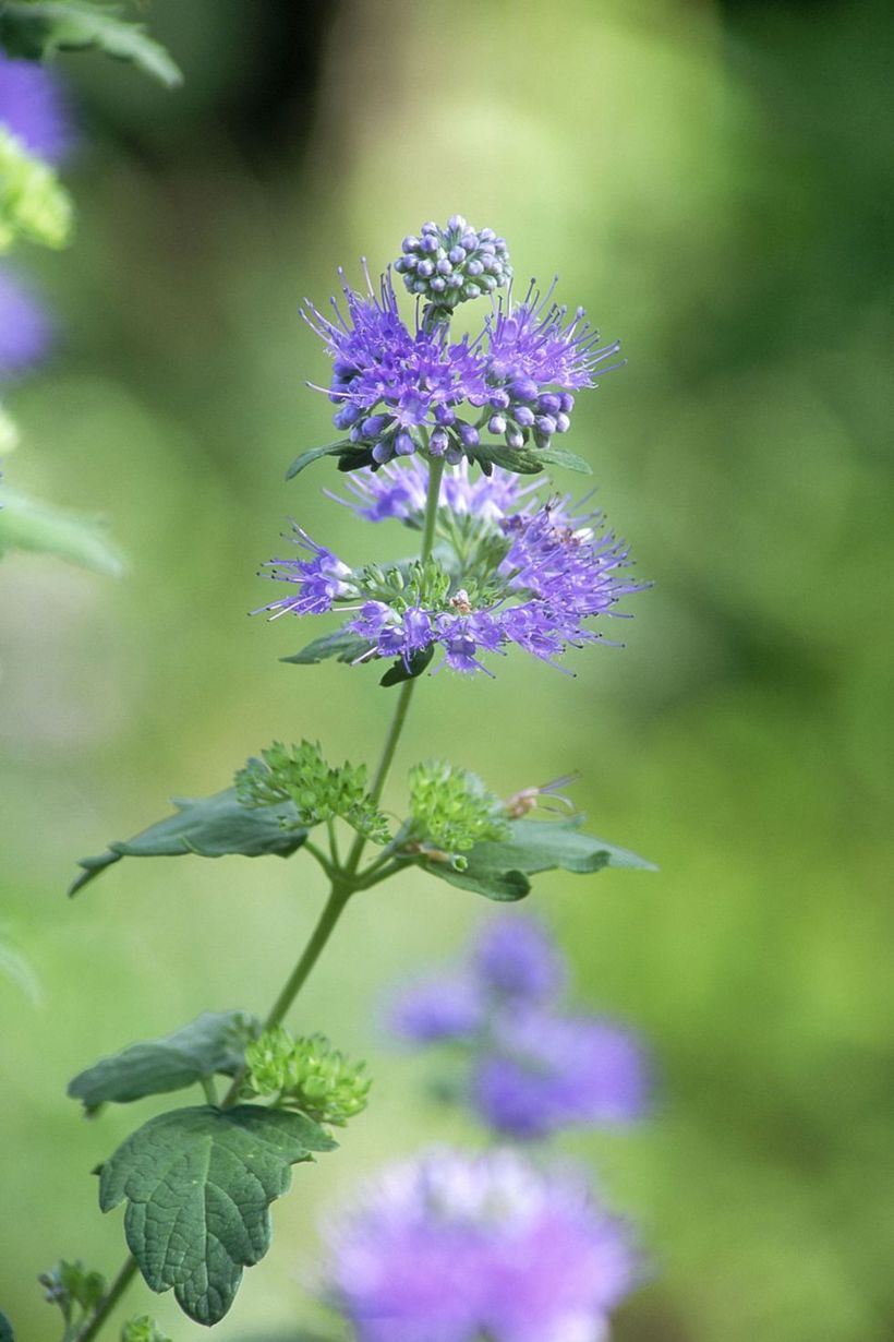 Caryopteris-plants-and-flowers.-