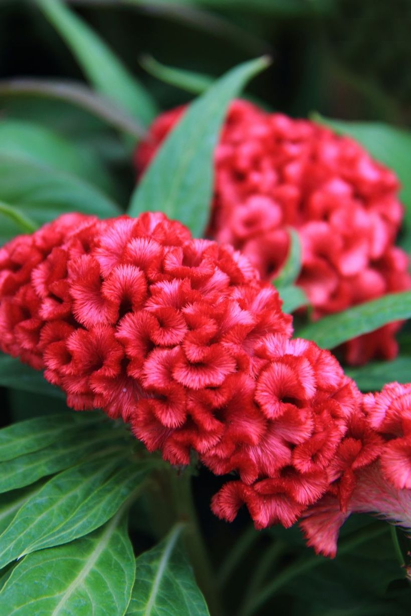 Celosia-cristata-flowers-and-plants.-