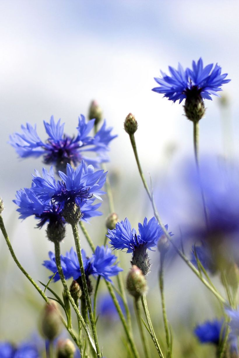 Cornflower-flowers-and-plants.-
