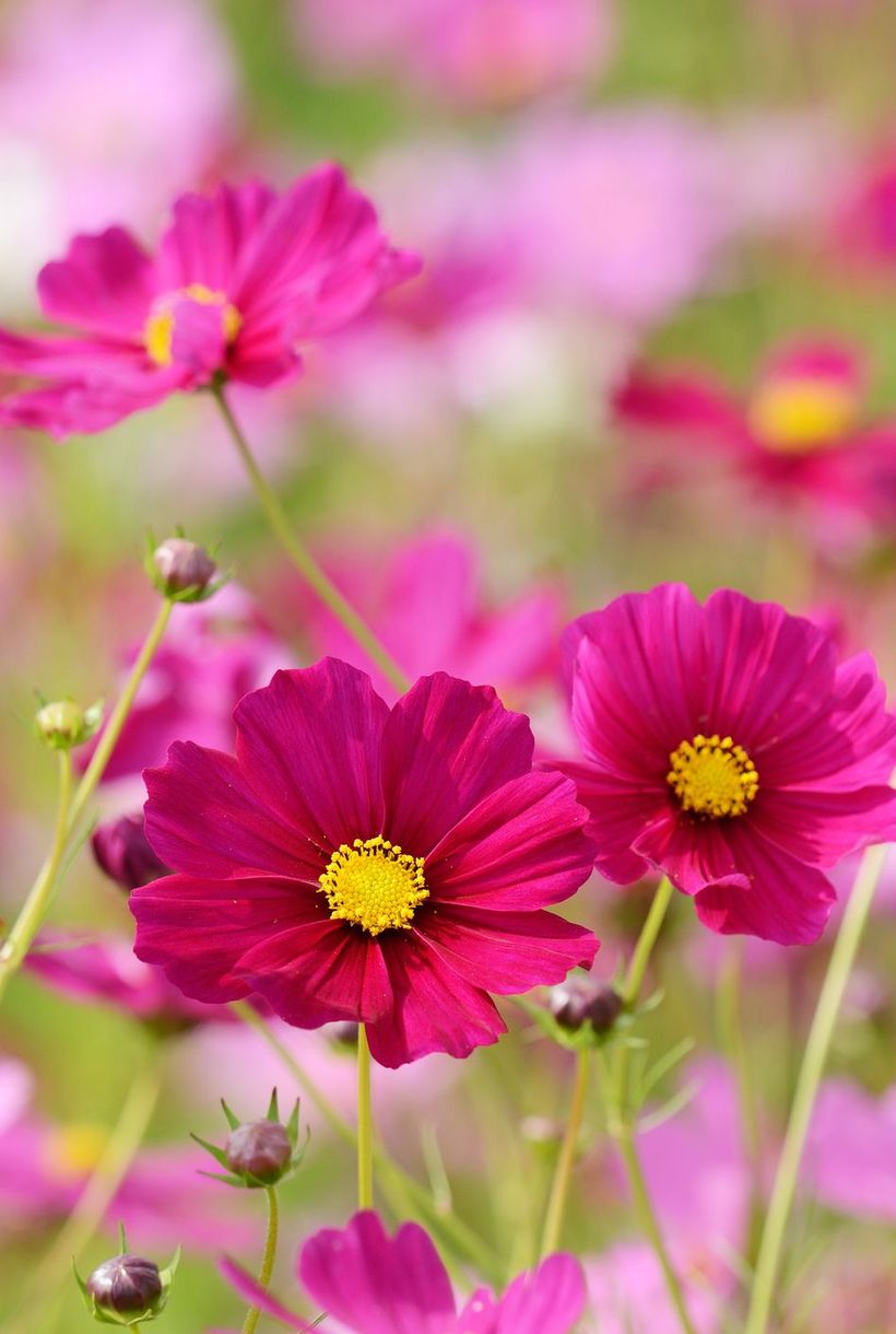 Cosmos-pink-flowers-and-plants.-