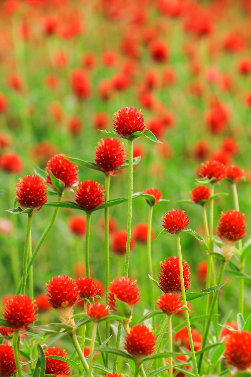 Gomphrena-globosa-flowers-and-plants.-