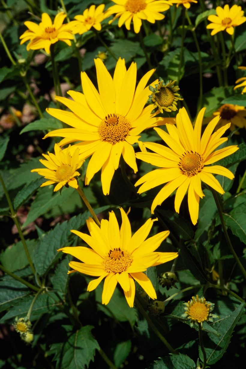 Heliopsis-plants-and-flowers.-