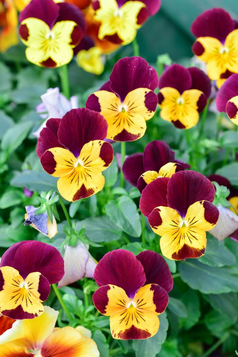 Pansies-tolerate-flowers-and-plants.-