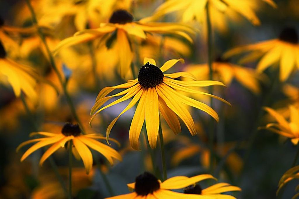Flowers with gold color and has black flower petals is perfect to be planted in your garden, a flower called black-eyed susan is very popular and widely planted in most gardens