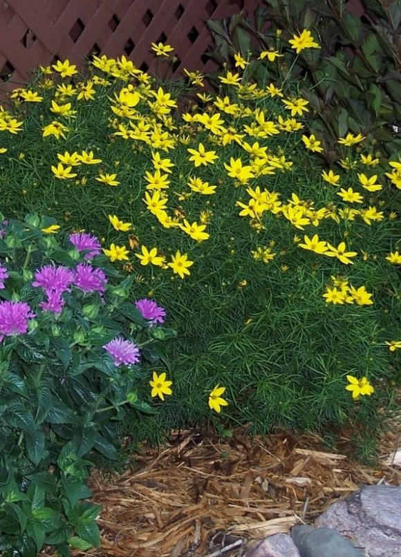 1-perennials-zagreb-coreopsis