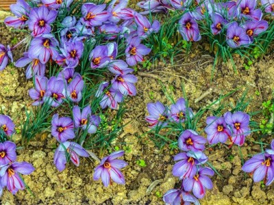 Crocus-sativus-saffron-4_x2000_crop_center