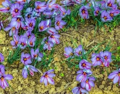 Crocus-sativus-saffron-4_x2000_crop_center