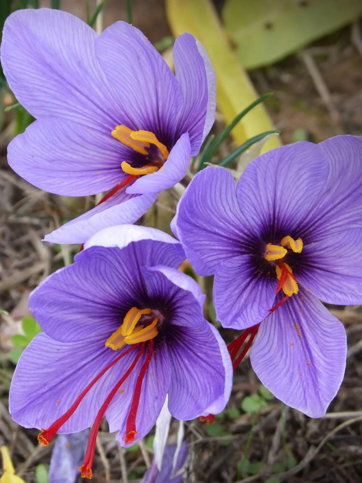 Saffron_crocus3_x2000_crop_center