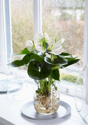 Anthurium-water-garden-ideas-for-your-interior