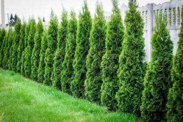 Garden-screening-plants-thuja-garden-privacy-plants-garden-landscape-ideas-1