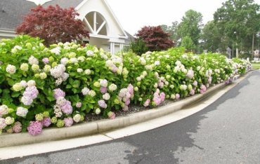 Privacy-protection-hedge-garden-hydrangea-purple-road-sides