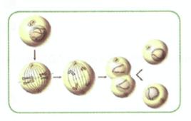 Biología mitosis