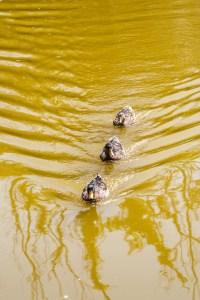 Patos en un estanque, Lisboa. © mateoht 1990-2013 - http://lafotodeldia.net