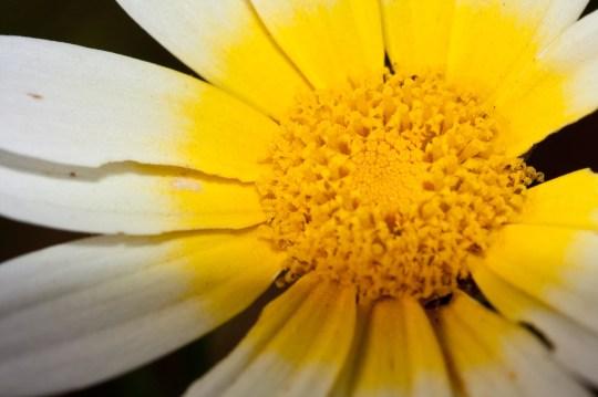 Flor llena de polen, Argelia. © mateoht 1990-2013 - http://lafotodeldia.net