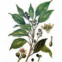 """Résultat de recherche d'images pour """"Ravensara aromatica"""""""