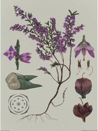 Ericacee - Coacaze de munte