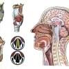 Capul si laringele 2