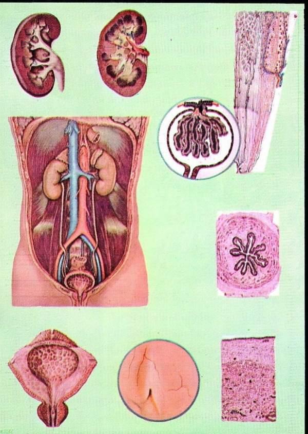 Sistemul excretor si aparatul renal 3
