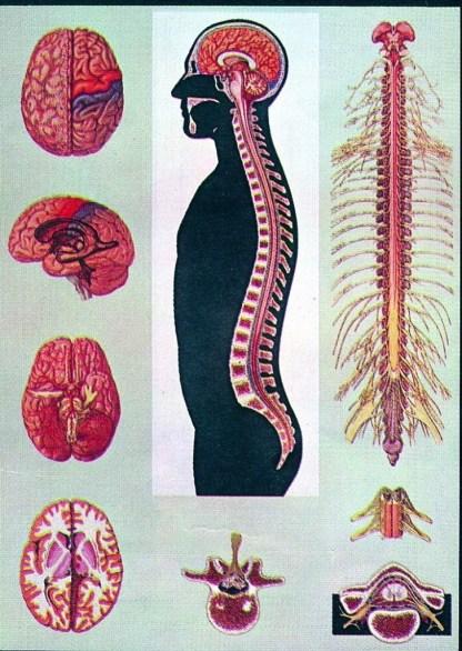 Creierul si maduva spinarii