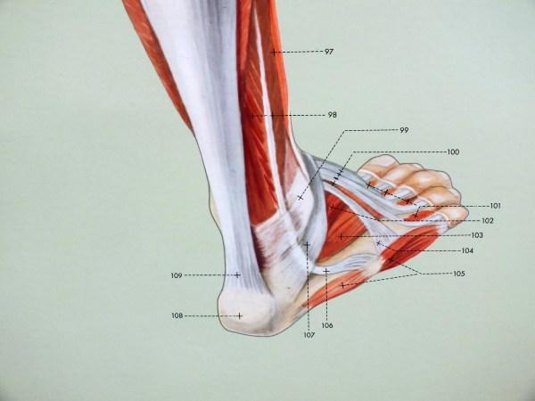 Sistemul muscular - spate 5