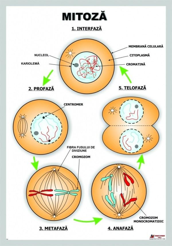 Mitoza 3