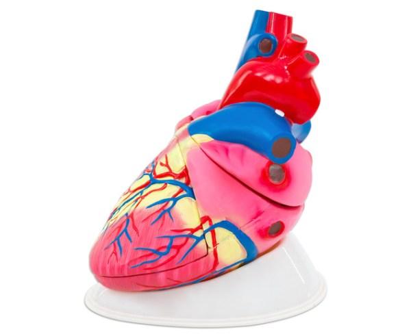 Inima umana - model Mare 4