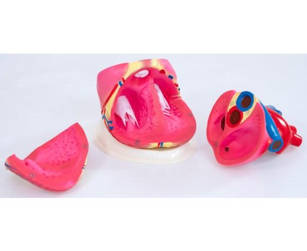 Inima umana - model Mare 10