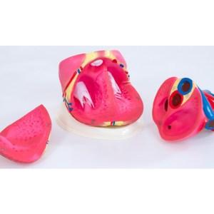 Inima umana - model Mare 19