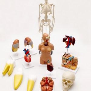 Set Modele Anatomie 8