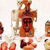 Set Modele Anatomie 1