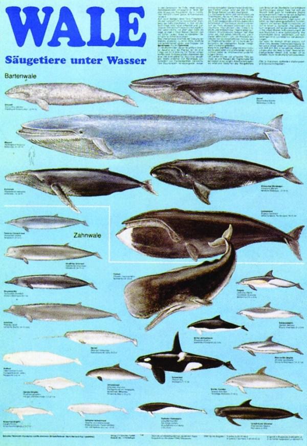 Balene - mamifere subacvatice 3