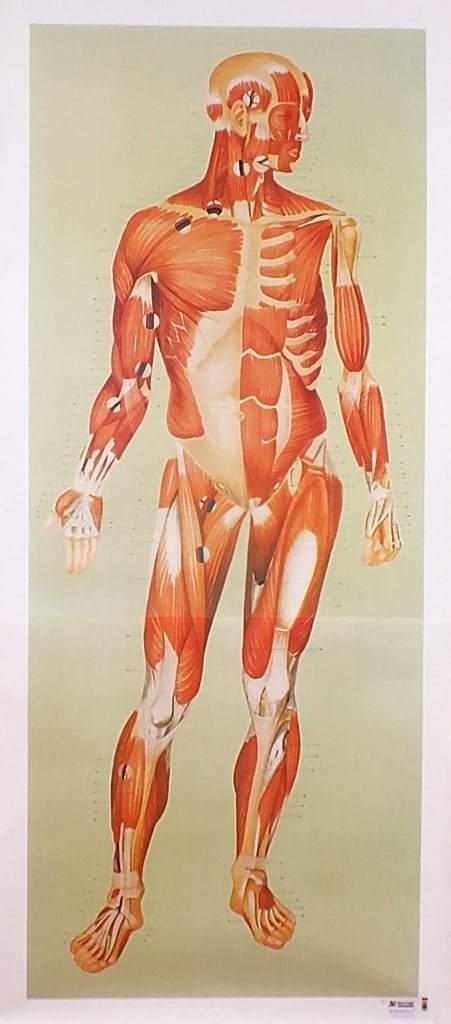 Sistemul muscular - fata