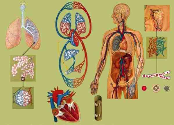 Sistemul circulator si respirator 3