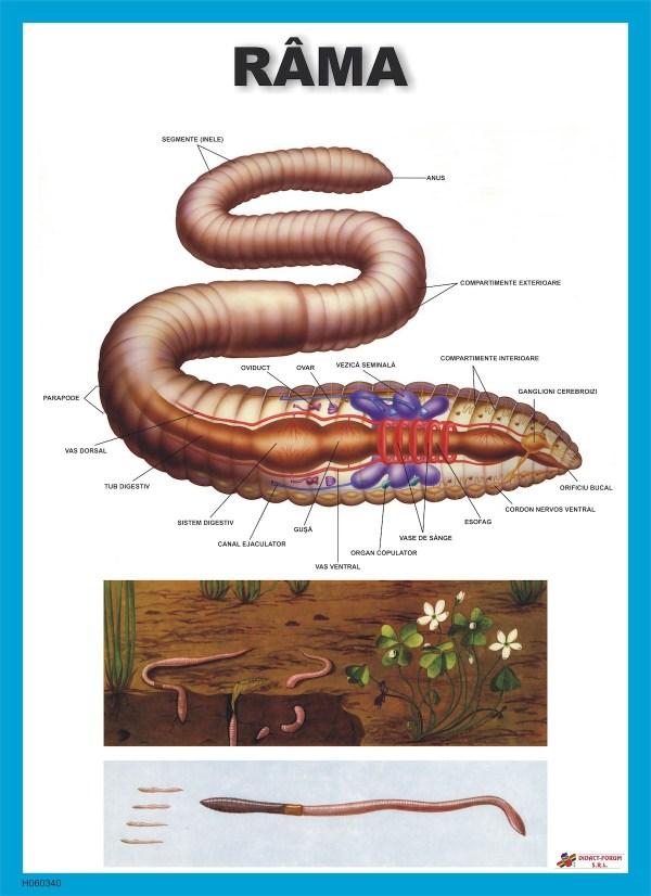 Rama - Lumbricus terrestris 3