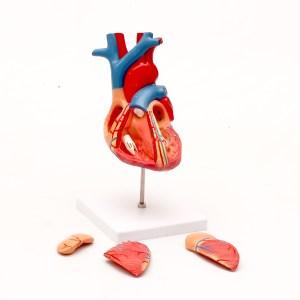 Mulaj inima – marime 2X 8