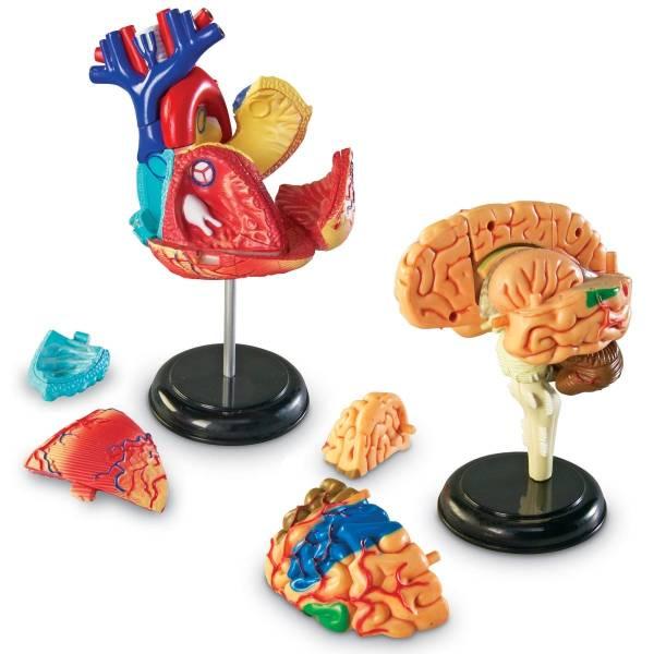 Set 4 modele anatomie 4