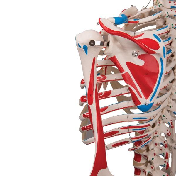 Schelet uman cu vizualizare sistem muscular pe suport cu role 8