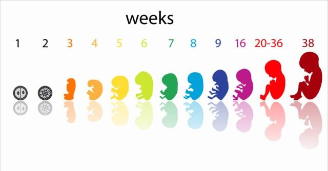desarrollo del feto