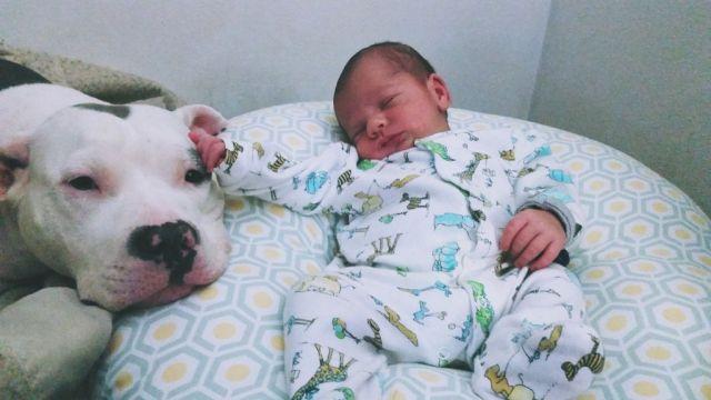 pit-bull-bebe
