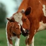 Kära köttbit – Coop gör utspel mot köttkonsumtionen