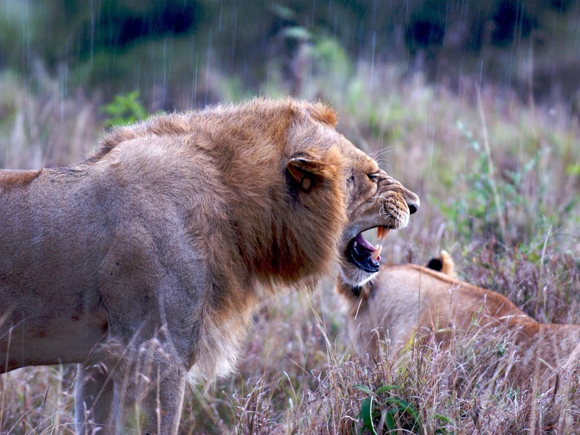 Lion yawning under the rain in the Masai Mara, Kenya