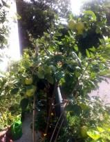 Babette's Balkon-Apfelbäumchen 2014
